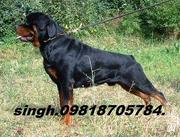 ROTTWEILER & BULL MASTIFF TOP SHOW QTY.PUPS FOR SALE. WITH KCI PAPERS.