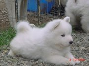 9313005254 registered Samoyed  puppies.