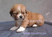 LHASA APSO PUPPS FOR SALE ASIA PETS  @  9911293906 !!!