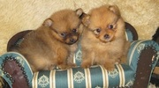 POMERANIAN EXCELLENT QUALITY PUPPIES FOR SALE