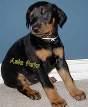 Doberman    Puppies  For Sale  ® 9911293906