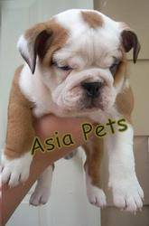 BULLDOG  PUPPIES  FOR SALE   9555944924