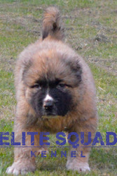 Caucasian Shepherd MALE PUPPY for SALE- India - ELITE SQUAD KENNEL