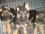 germen shepherd puppies for sale in srinagar